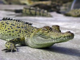 Fresh-water crocodile