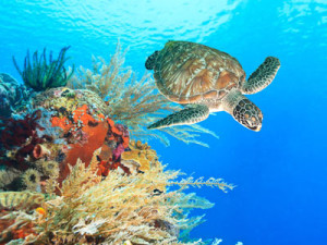 Turtle-and-coral-on-great-barrier-reef-coral-reef