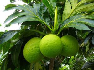 Breadfruit Sri lanka