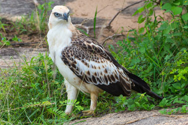Changeable-Hawk-Eagle