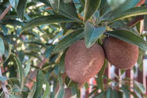 Sapodilla-oval-Berry
