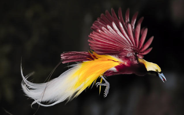 Waigeo-island-birds