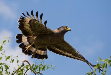 Predatory Bird Sri Lanka
