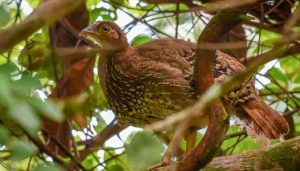 Singaraja birds