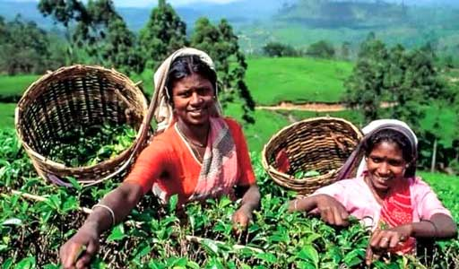 Tea Gardens, Nuwara Eliya