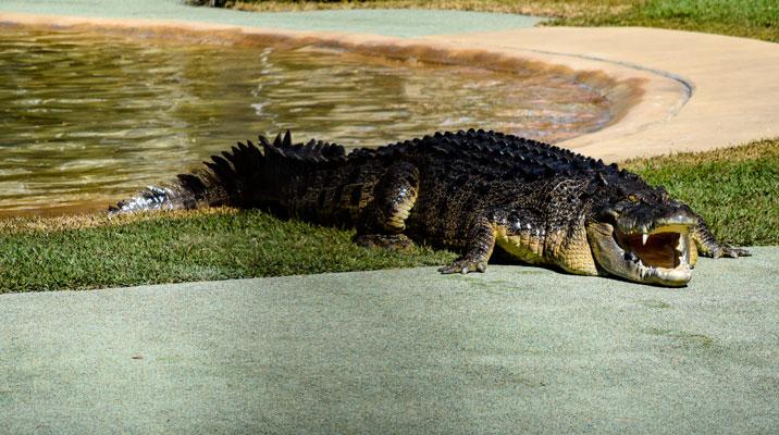 Crocodile in NT