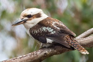Kookaburra-Australia