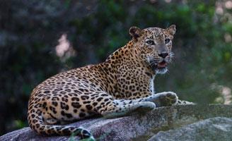 Sri Lankan Leopards