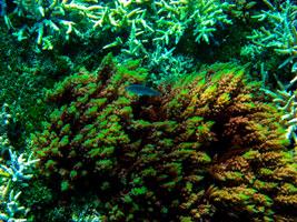 Soft-reef