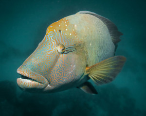 giant-wrasse traveller hints