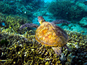 Sea-turtles-great-barrier-reef-in-Hamilton-island