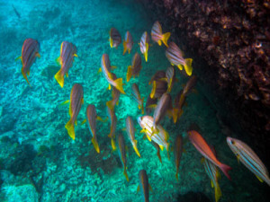 yellow-tails-fish-in-great-barrier-reef