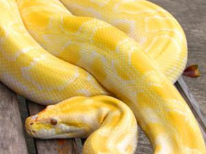 Albino Python Zoo