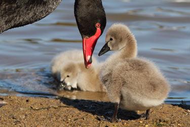 Bunbury town-black-swan