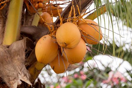King-Coconuts-sri-Lanka