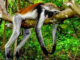 jozani national park zanzibar