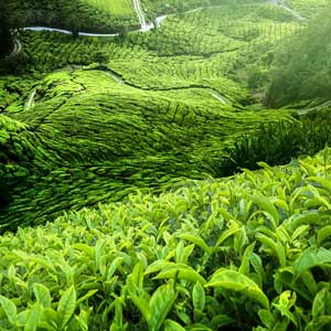 Sri Lankan Tea states