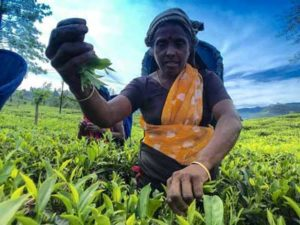 Sri Lankan Tea hand pick